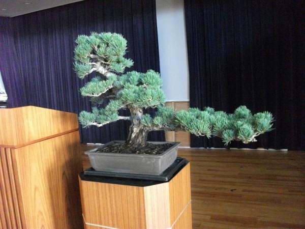 松の盆栽 レンタルのご案内